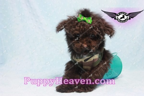 Denzel Washington - Maltipoo Puppy Fund His Loving Home with Debbie from Beverly Hills CA 90210-9760