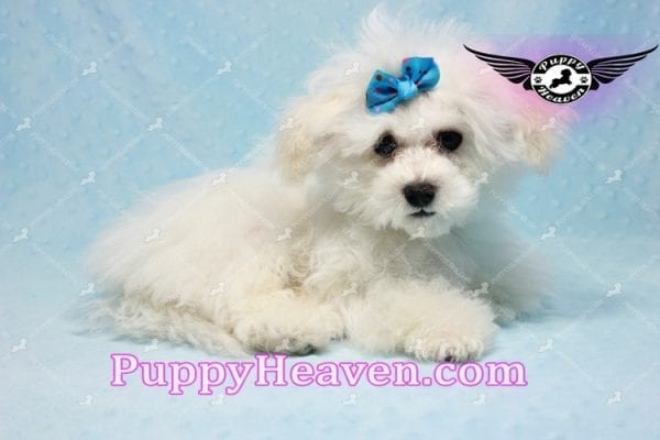 Aspen - Maltese Puppy in L.A found a new loving home with Viviana from Anaheim Ca 92804 -9768