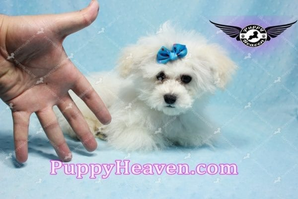 Aspen - Maltese Puppy in L.A found a new loving home with Viviana from Anaheim Ca 92804 -9769