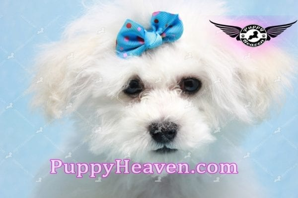 Aspen - Maltese Puppy in L.A found a new loving home with Viviana from Anaheim Ca 92804 -9773