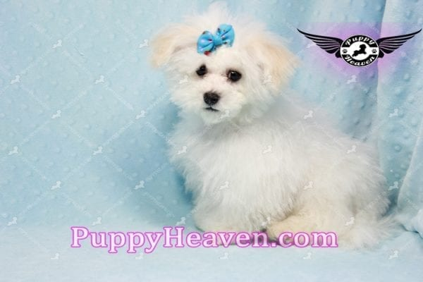 Aspen - Maltese Puppy in L.A found a new loving home with Viviana from Anaheim Ca 92804 -9767