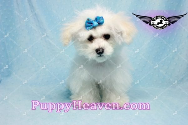 Aspen - Maltese Puppy in L.A found a new loving home with Viviana from Anaheim Ca 92804 -9770