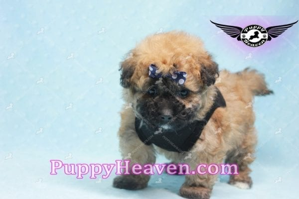 Ronaldo - Teacup Maltipoo Puppy has found a good loving home with Mark from Henderson, NV 89052-9774