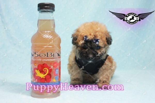 Ronaldo - Teacup Maltipoo Puppy has found a good loving home with Mark from Henderson, NV 89052-9776