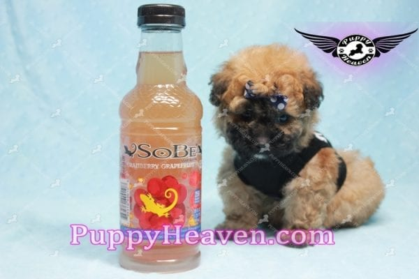 Ronaldo - Teacup Maltipoo Puppy has found a good loving home with Mark from Henderson, NV 89052-0