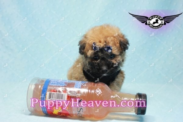 Ronaldo - Teacup Maltipoo Puppy has found a good loving home with Mark from Henderson, NV 89052-9777