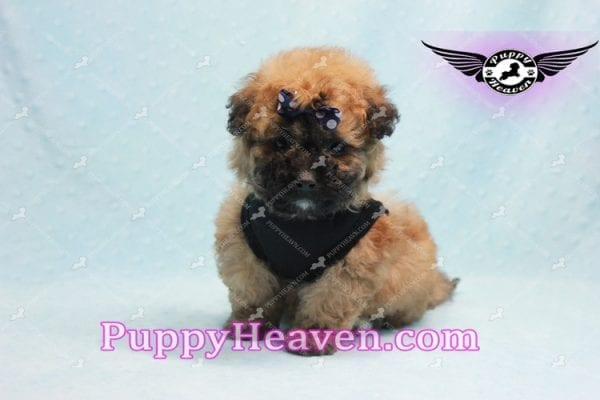 Ronaldo - Teacup Maltipoo Puppy has found a good loving home with Mark from Henderson, NV 89052-9780