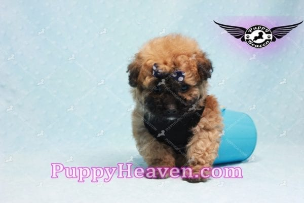 Ronaldo - Teacup Maltipoo Puppy has found a good loving home with Mark from Henderson, NV 89052-9779