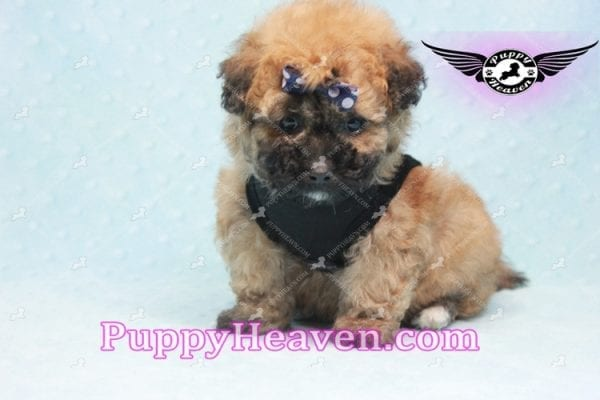 Ronaldo - Teacup Maltipoo Puppy has found a good loving home with Mark from Henderson, NV 89052-9778