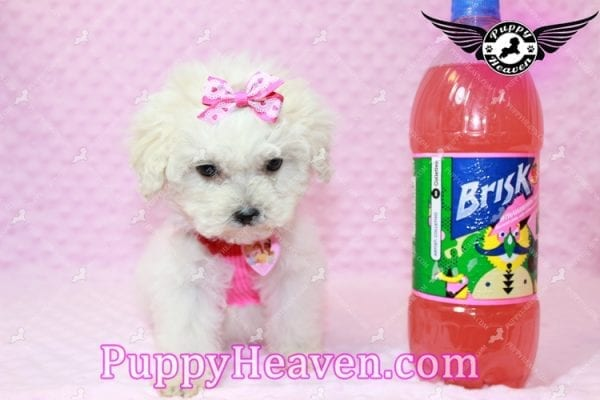 Alice - Teacup Maltipoo Puppy has found a good loving home with Federico from Oakland, CA 94609-7926