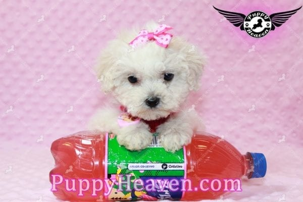 Alice - Teacup Maltipoo Puppy has found a good loving home with Federico from Oakland, CA 94609-7929