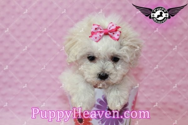 Alice - Teacup Maltipoo Puppy has found a good loving home with Federico from Oakland, CA 94609-7928