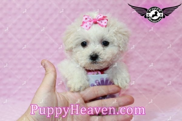 Alice - Teacup Maltipoo Puppy has found a good loving home with Federico from Oakland, CA 94609-7931
