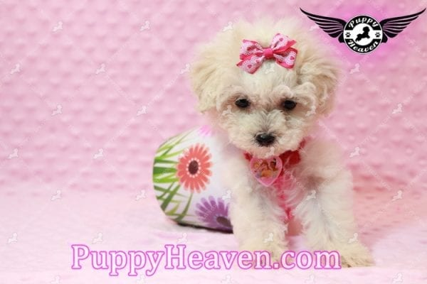 Alice - Teacup Maltipoo Puppy has found a good loving home with Federico from Oakland, CA 94609-7927