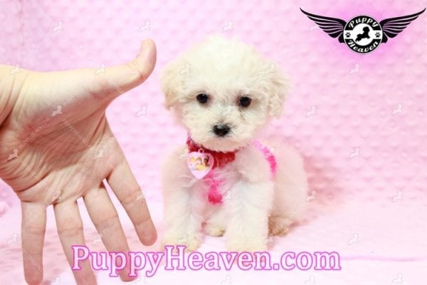 Alice - Teacup Maltipoo Puppy has found a good loving home with Federico from Oakland, CA 94609-7930