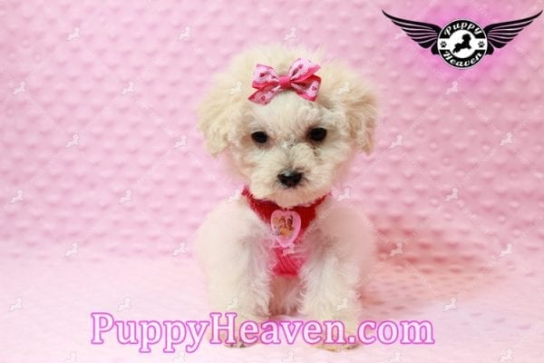 Alice - Teacup Maltipoo Puppy has found a good loving home with Federico from Oakland, CA 94609-7925
