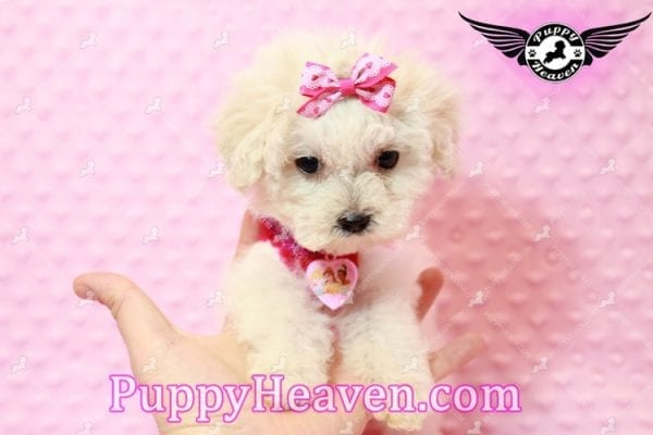 Alice - Teacup Maltipoo Puppy has found a good loving home with Federico from Oakland, CA 94609-0