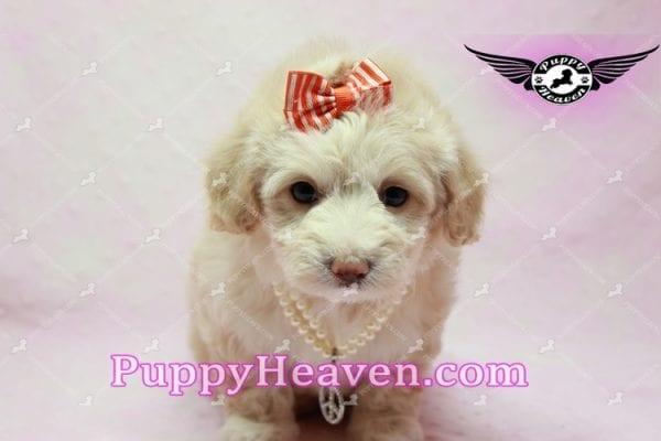 Angelina Jolie - Maltipoo Puppy -9935