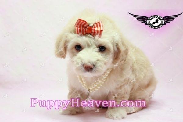 Angelina Jolie - Maltipoo Puppy -9937