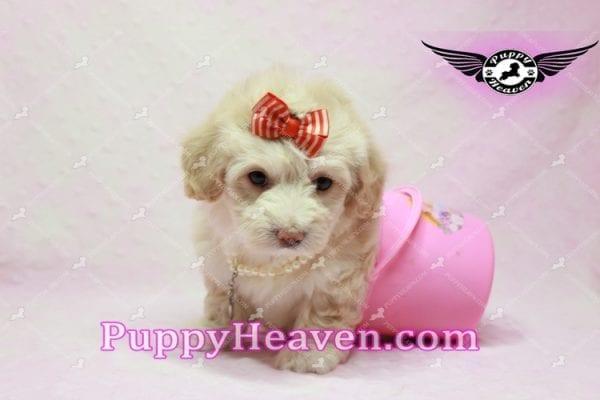 Angelina Jolie - Maltipoo Puppy -9933