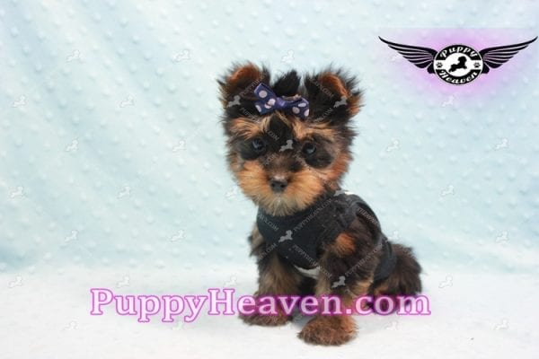 Armani - Teacup Yorkie Puppy -9868