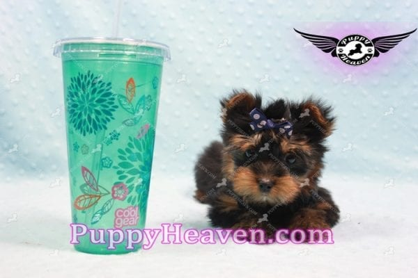 Armani - Teacup Yorkie Puppy -9865