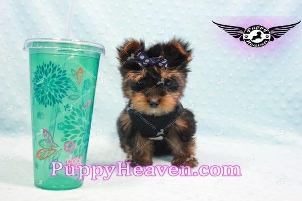 Armani - Teacup Yorkie Puppy -9859