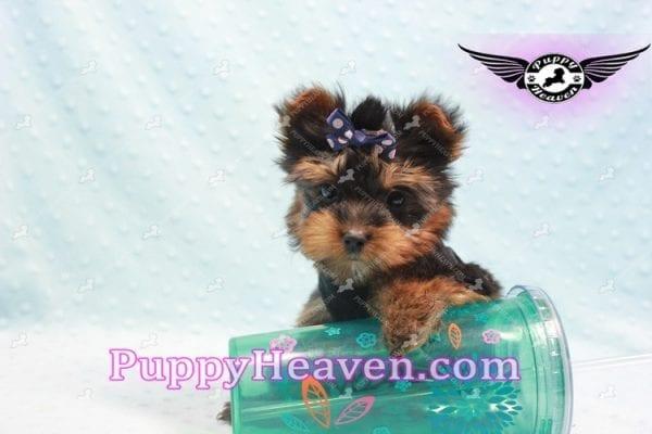 Armani - Teacup Yorkie Puppy -9863