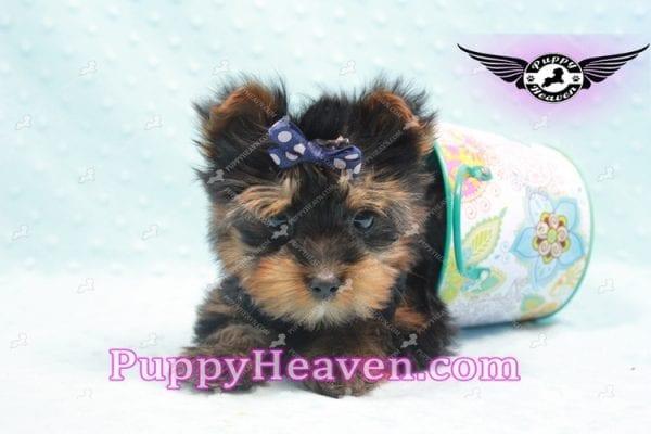 Armani - Teacup Yorkie Puppy -9864