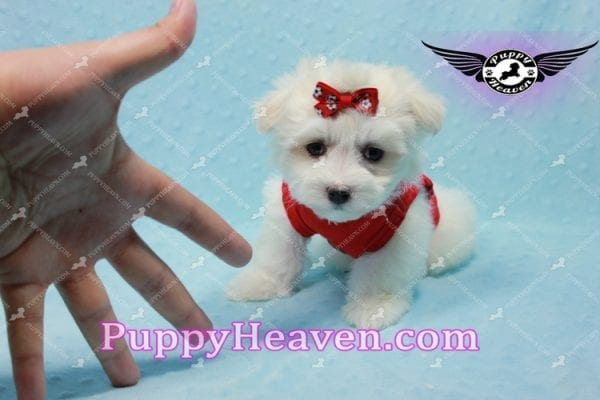 Aspen - Teacup Maltese Puppy has found a good loving home with Michele from Reseda, CA 91335-10103