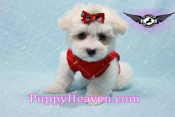 Aspen - Teacup Maltese Puppy has found a good loving home with Michele from Reseda, CA 91335-10107