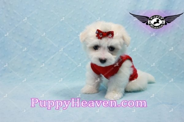 Aspen - Teacup Maltese Puppy has found a good loving home with Michele from Reseda, CA 91335-10106