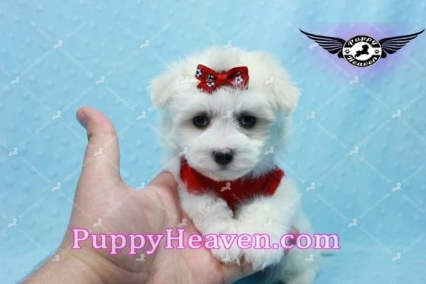 Aspen - Teacup Maltese Puppy has found a good loving home with Michele from Reseda, CA 91335-10104