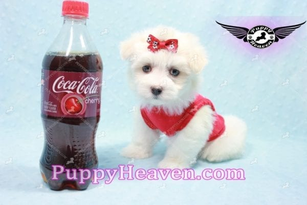 Aspen - Teacup Maltese Puppy has found a good loving home with Michele from Reseda, CA 91335-0