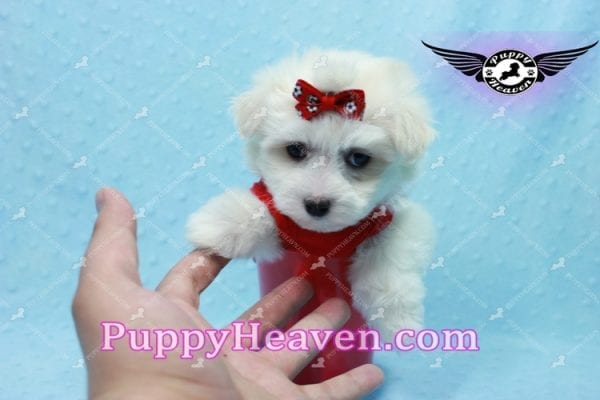 Aspen - Teacup Maltese Puppy has found a good loving home with Michele from Reseda, CA 91335-10105