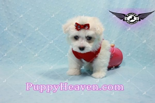 Aspen - Teacup Maltese Puppy has found a good loving home with Michele from Reseda, CA 91335-10109