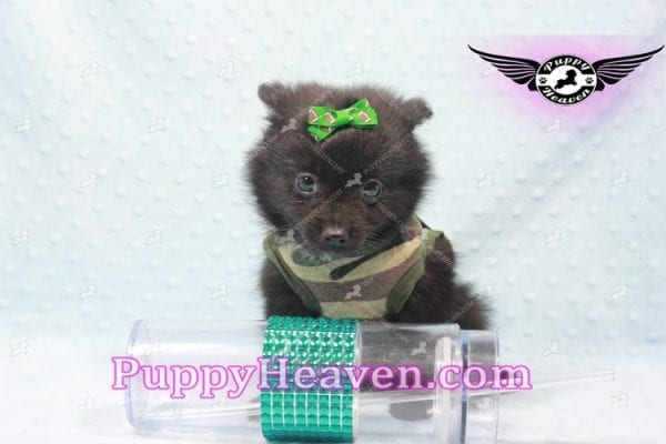 Barack Obama - Toy Pomeranian Has Found A Loving Home With Jordan in Henderson, NV 89011!-9669