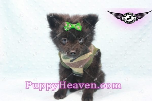 Barack Obama - Toy Pomeranian Has Found A Loving Home With Jordan in Henderson, NV 89011!-9668