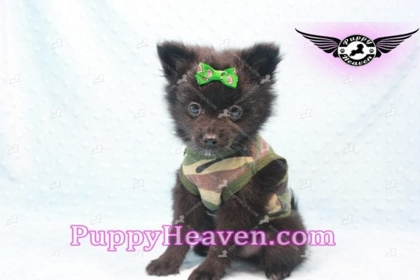 Barack Obama - Toy Pomeranian Has Found A Loving Home With Jordan in Henderson, NV 89011!-0