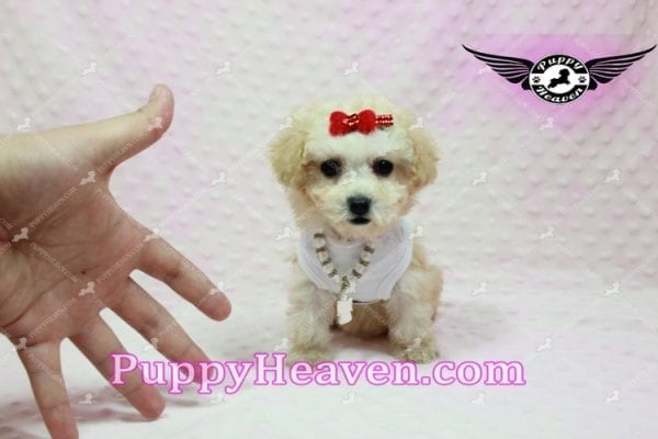 Beyonce - Teacup Maltipoo Puppy -9846