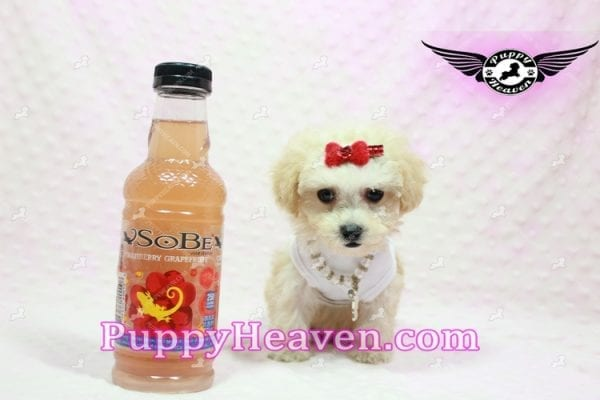 Beyonce - Teacup Maltipoo Puppy -9841