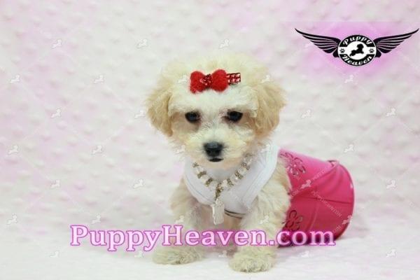 Beyonce - Teacup Maltipoo Puppy -9842