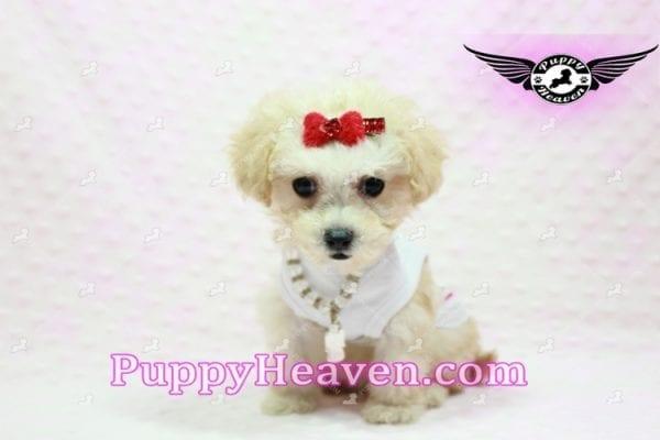 Beyonce - Teacup Maltipoo Puppy -0