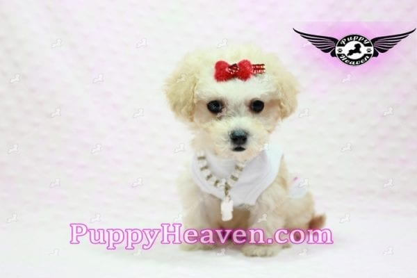 Beyonce - Teacup Maltipoo Puppy -9840
