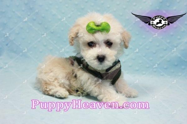 Bill Clinton - Maltipoo Puppy -9985