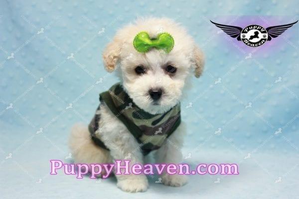 Bill Clinton - Maltipoo Puppy -9984