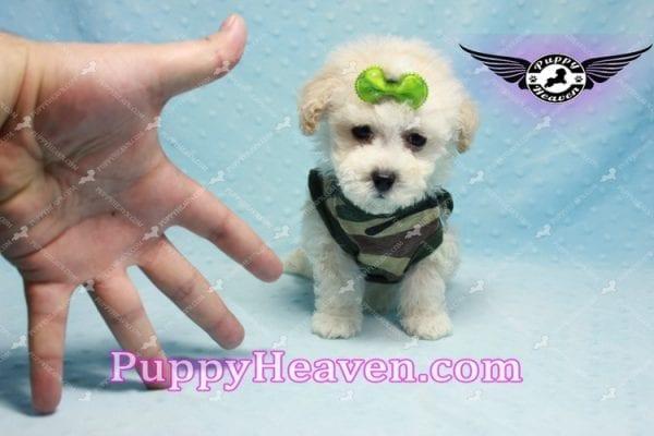 Bill Clinton - Maltipoo Puppy -9981