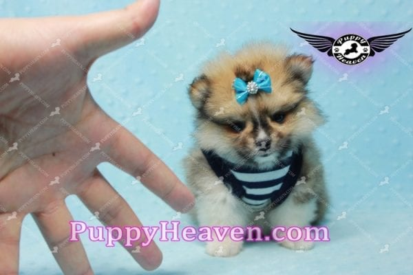 Boo Bear - Mini Pomeranian Puppy -10112