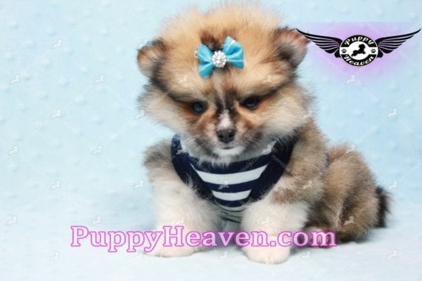 Boo Bear - Mini Pomeranian Puppy -0