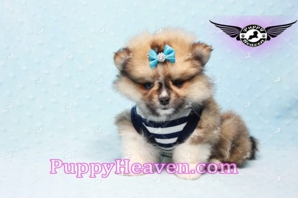 Boo Bear - Mini Pomeranian Puppy -10117